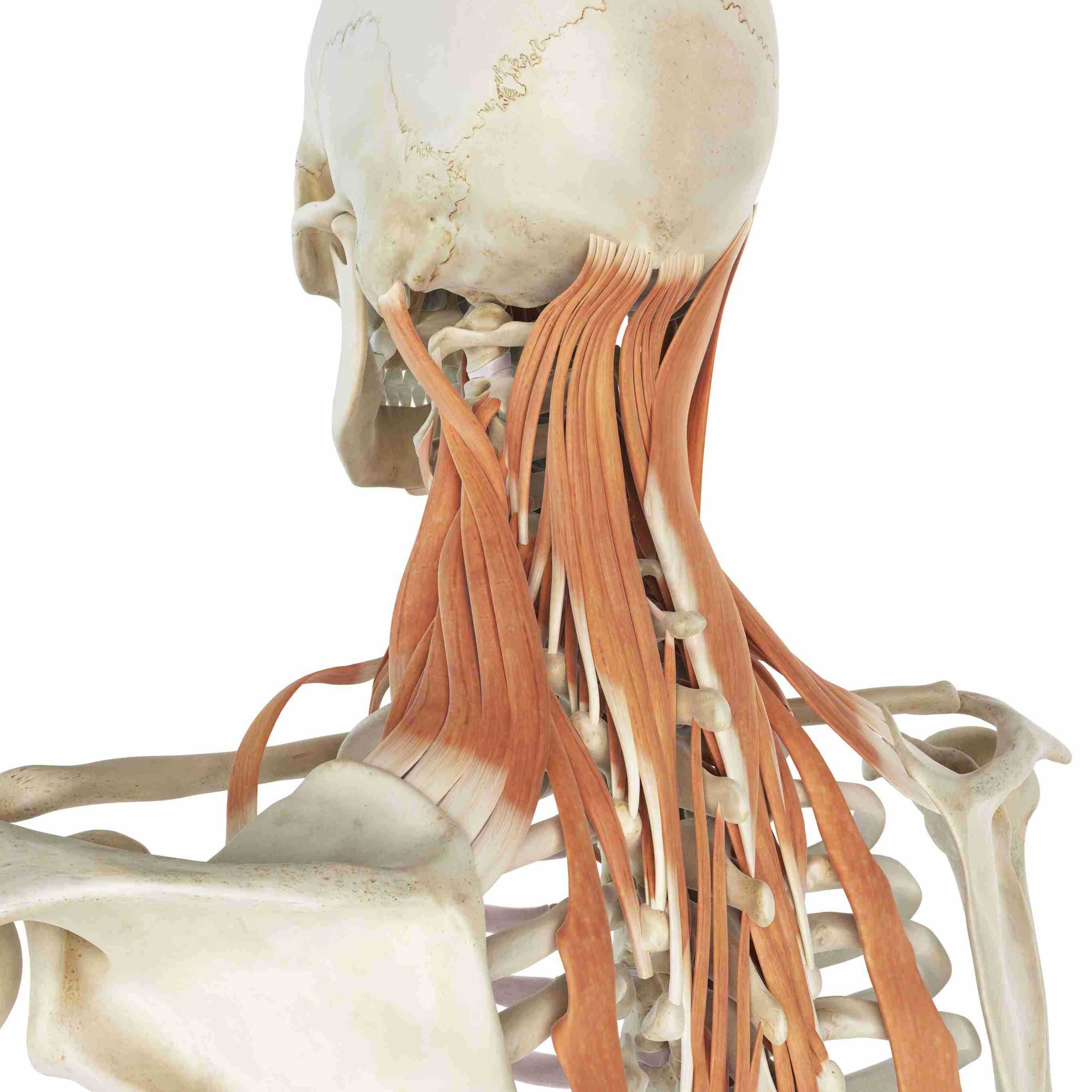 Levator Scapula Muscle And Its Role In Pain And Posture