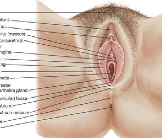 The Human Female External Genitalia