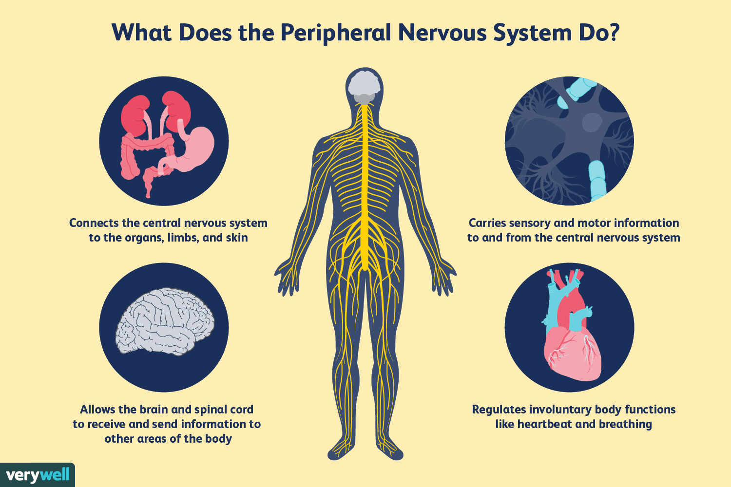How The Peripheral Nervous System Works