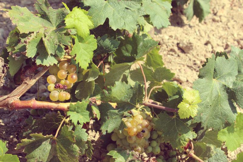 Raisin dans les vignes Devichi 1