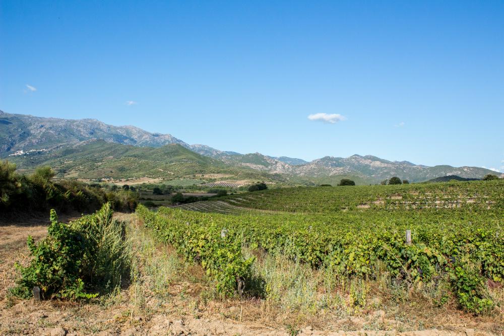 Vignes domaine Santamaria 2
