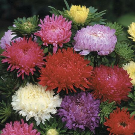 Duchess Mix Aster   Flowers And Bulbs   Veseys Details