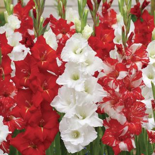 Gladiolus   Flowers And Bulbs   Veseys Glad to be Canadian Gladiolus Blend