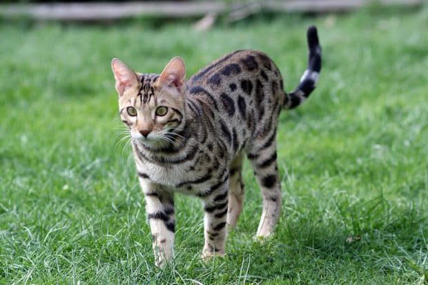 Bengalische Katzenzucht