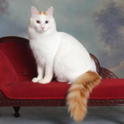 Katze-Rasse_Türkish-van
