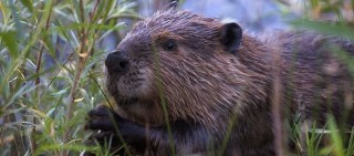The beaver is Canada's national animal.