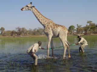 OV_giraffe_rescue4