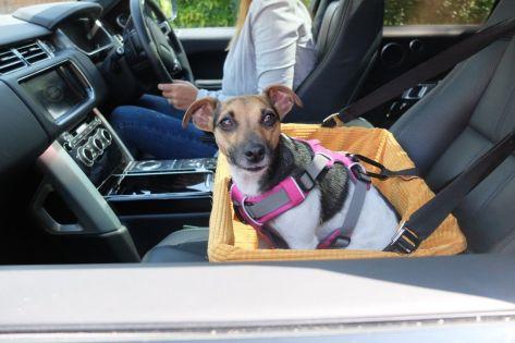 Perro sujeto con cinturón al asiento en un coche