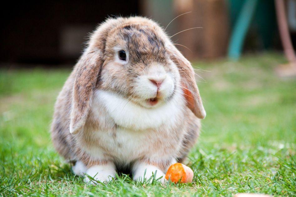 Cuanto vive un conejo?