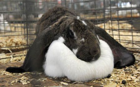 Las larbas de las moscas pueden crecer sobre tu conejo