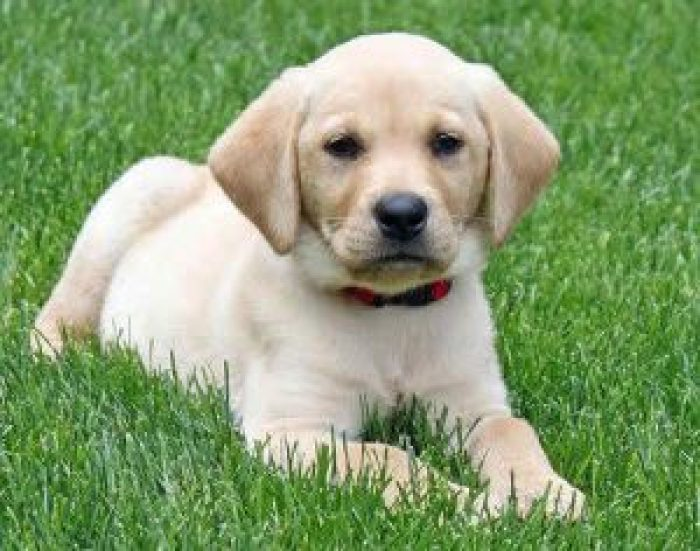 10 most costly breeds of dogs Labrador