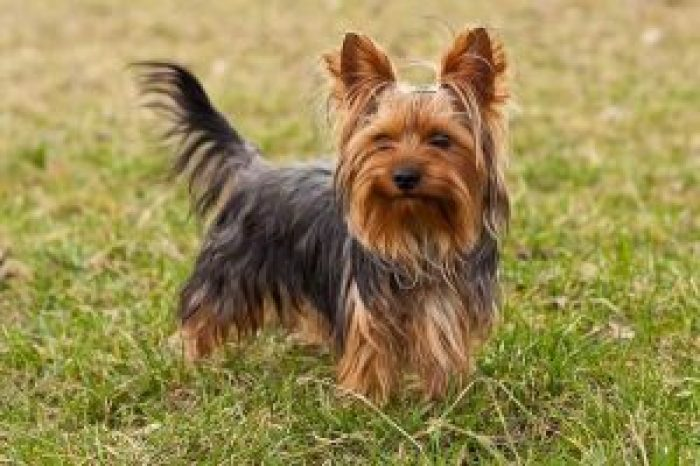 10 most costly breeds of dogs Yorkshire terrier