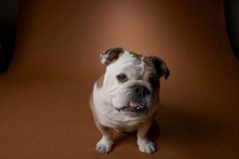 Degenerative Valve Disease Bull Dog