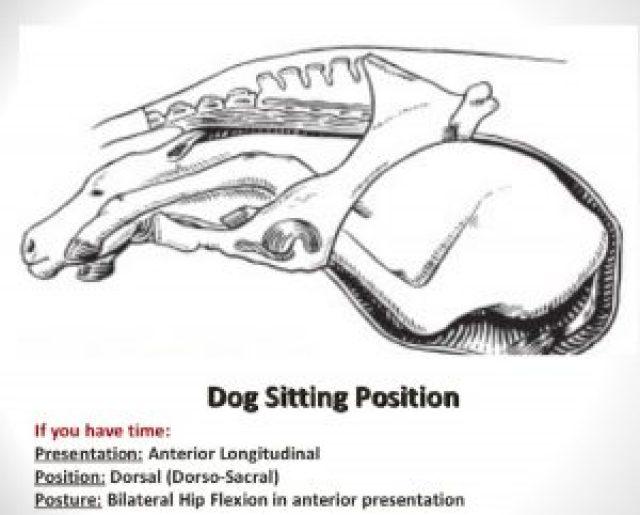 Dog Sitting Posture