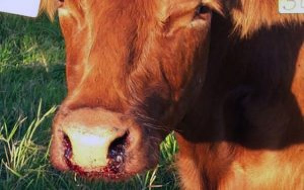Anthrax Vaccination By Veterinary Discussions