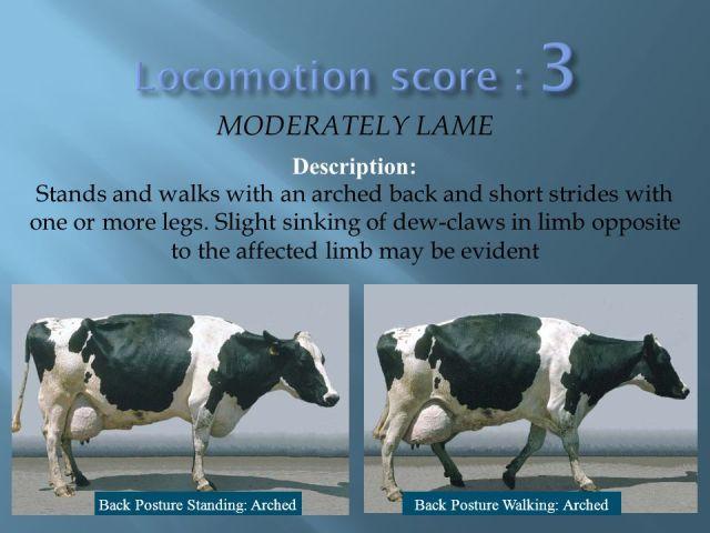 Locomotion score 3 MODERATELY LAME Description