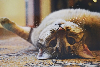 What Will Happen If Wrong Collar Used For Cats