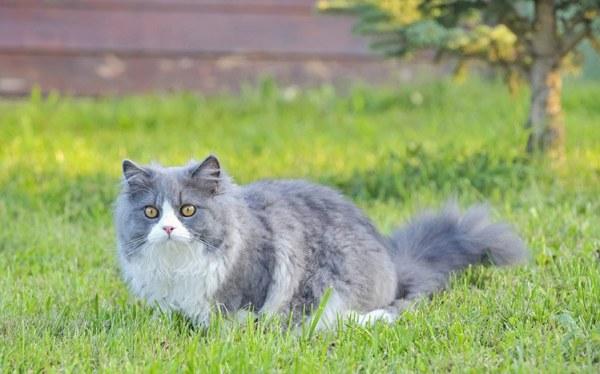 ragdoll-cat-life-span