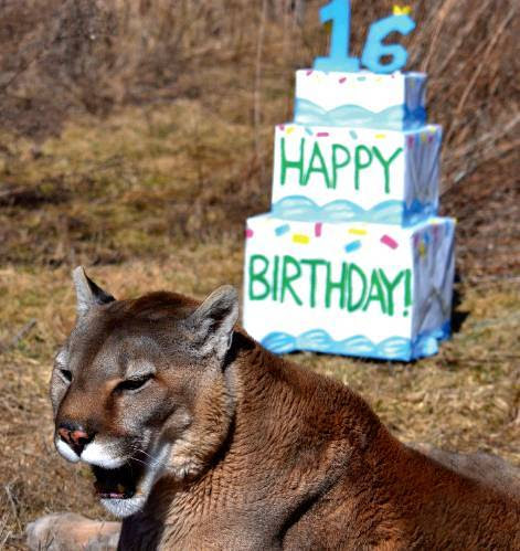 Max the mountain lion was a pet for many years before he was given up and sent to Lake Superior Zoo and then to The Wildlife Sanctuary, where he celebrated his 16th birthday.