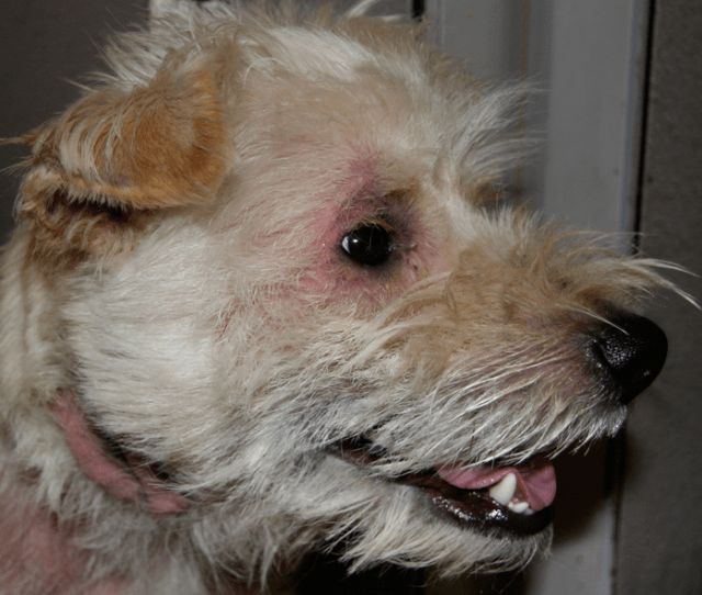 Atopic West Highland White Terrier Suffering From Allergic Skin
