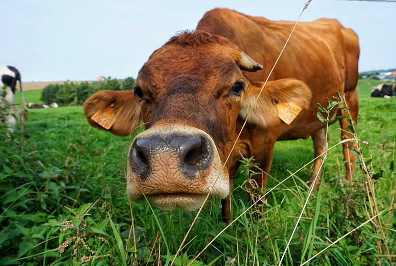Voeren koe