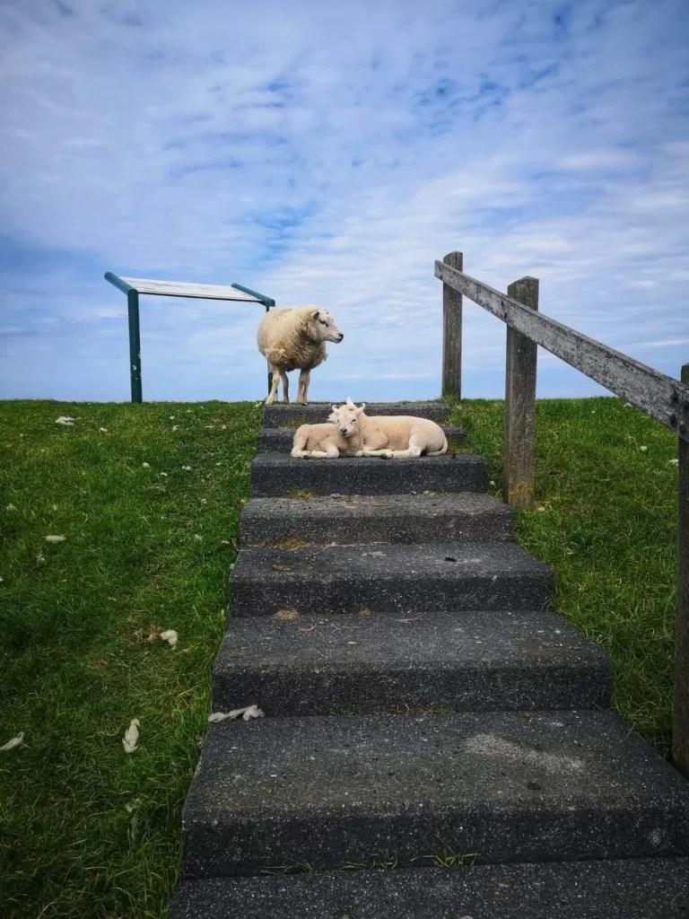 schapen wadden