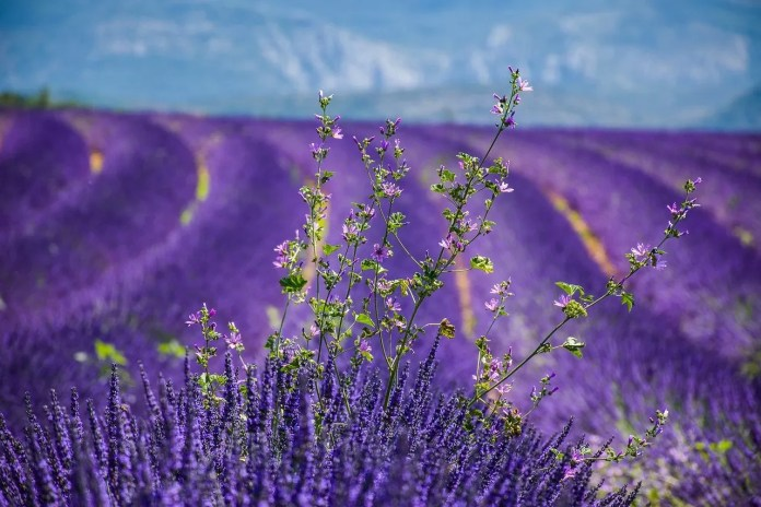 mooie lavendel in provence