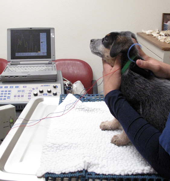 IMG 4596 - Here's How the BAER Hearing Test for Pets Works