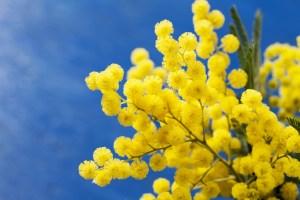5-conseils-d-expert-pour-planter-un-mimosa-dans-son-jardin_width1024