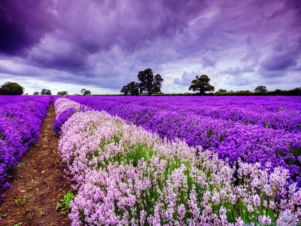 Lavender Scents, Flowers of the Provence /  Moonlight Sonata