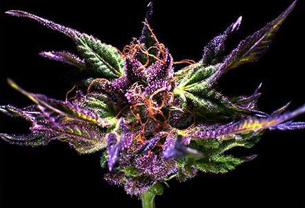 Leafly Strain Spotlight:  Granddaddy Purple