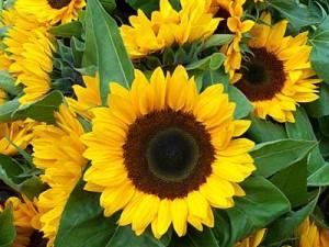 Sonnenblumen_400q