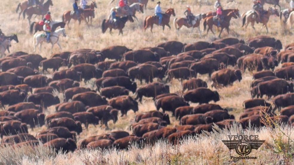 Buffalo runs