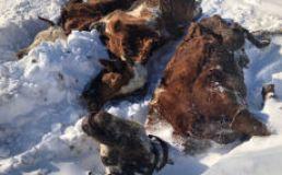 tote                                         Kuh im Schnee