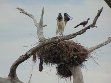 Casal de jaburu ou tuiuiú (ave símbolo do Pantanal)