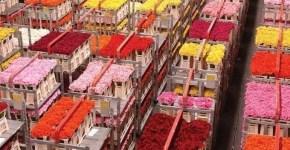 Partecipare a un'asta di fiori in Olanda con 5€ a Floraholland