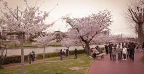 La fioritura dei Sakura al Laghetto dell'Eur di Roma