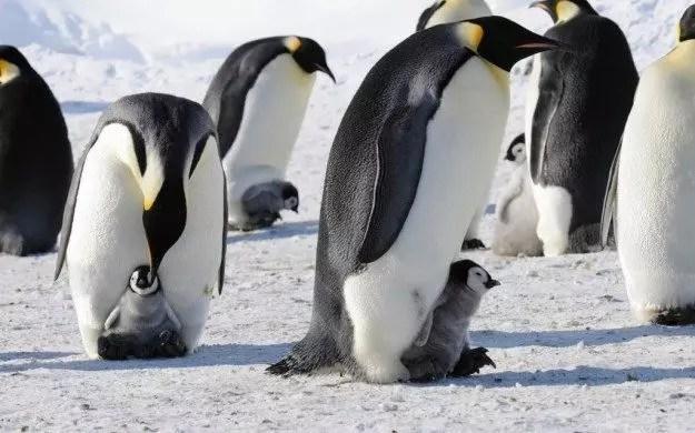 polo-pinguini-imperatore