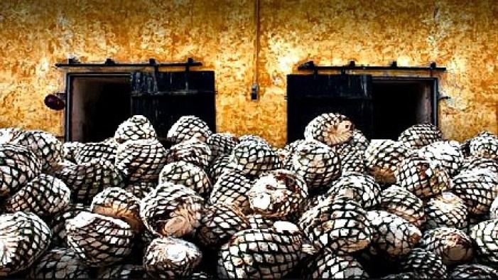 piñas dell'Agave pronte a diventare tequila