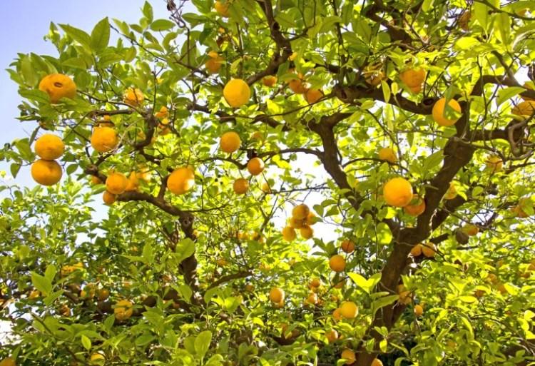 limoni di mentone nella citronneraie