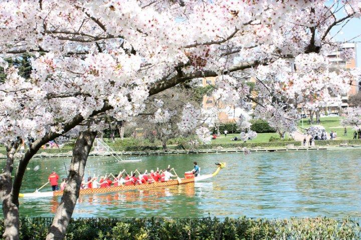 la fioritura dei ciliegi a roma