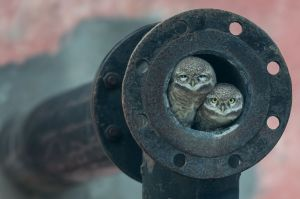 Pipe Owls Wildlife Photographer of the Year