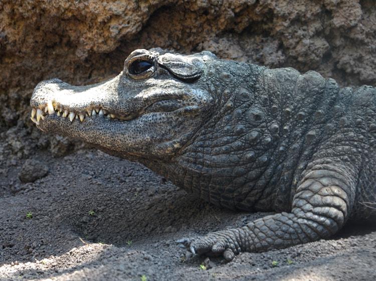 il coccodrillo nano ospite del bioparc