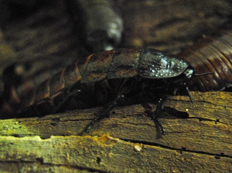 la cucarache fischi sui rami degli alberi autoctoni africani nel bioparc di valencia