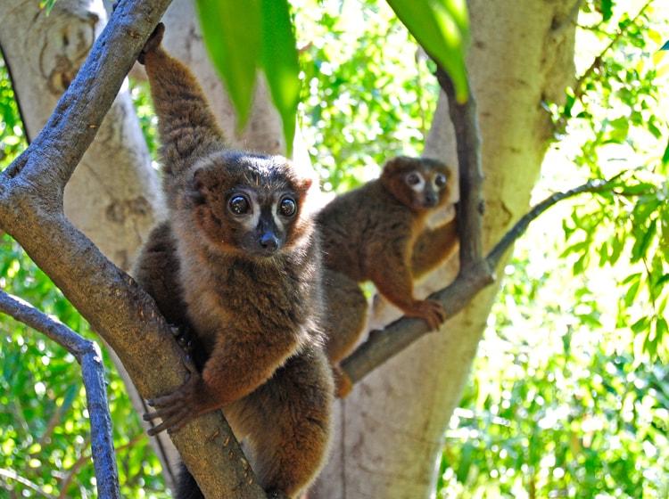 due bellissimi esemplari di elemur rubriverter ospitato nel bioparc