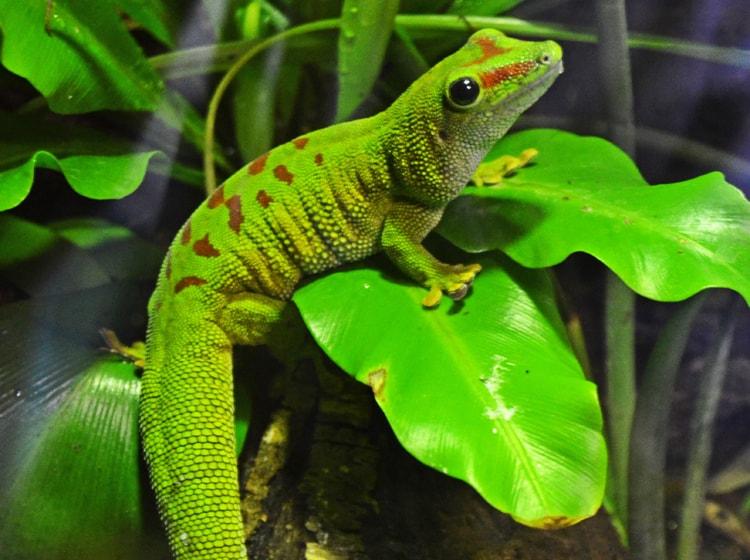 un verdissimo geco ospitato nella zona dei boschi equatoriali del bioparc di valencia