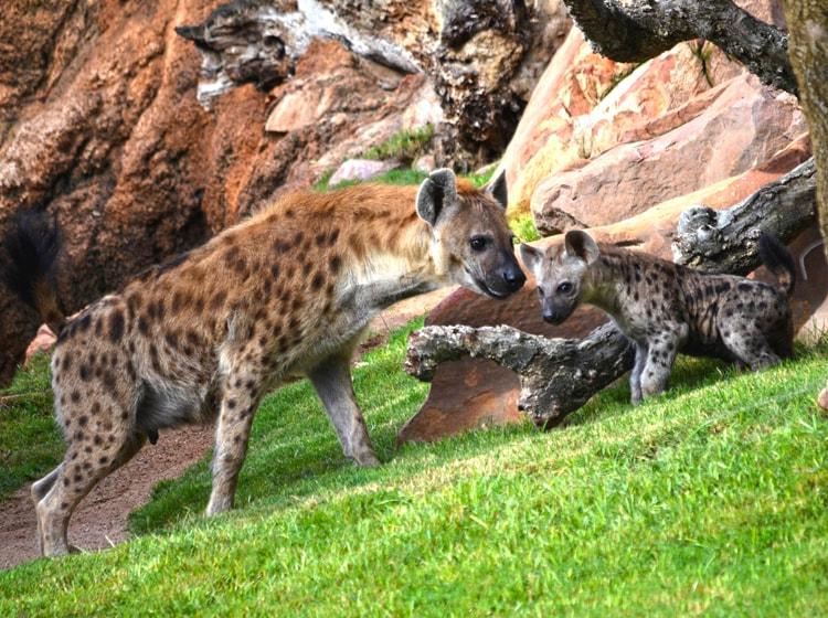 due esemplari di iene maculate nel bioparc di valencia
