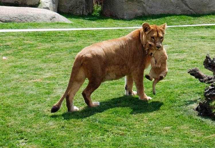 una tigre con il suo cucciolo nell'habitat savana del bioparc