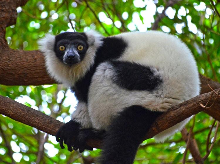il graziosissimo vari bianconero appollaiato su un albero nel bioparc