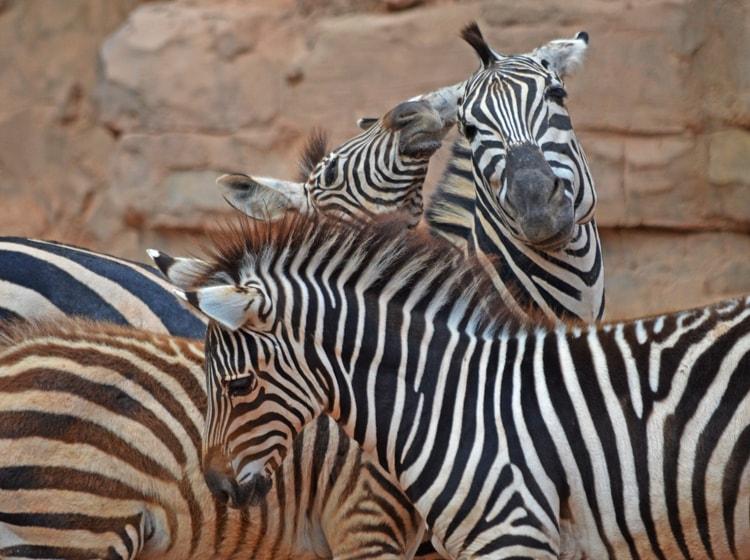 due bellissimi esemplari di zebra del grant all'interno del bioparc